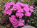 Dianthus sp. (35594900584).jpg