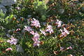 Dianthus sternbergii2.jpg