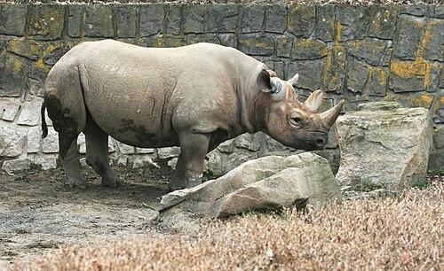 Szélesszájú orrszarvú – Wikipédia, Gyenge látás orrszarvú