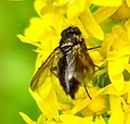 Diptera (2738988545).jpg