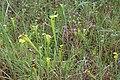 Doerun Pitcherplant Bog yellow flytrap 1.jpg
