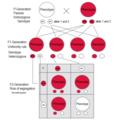 Dominant-recessive inheritance P - F1 - F2.png