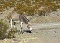 Donkey dsc 0514 (50584046253).jpg