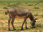 Donkey near Amboseli National Park.JPG