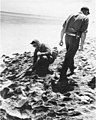 Dr Lauren R Donaldson and Lorence B Marquiss examining Bikini Island beach for signs of recent occupation, summer 1947 (DONALDSON 39).jpeg
