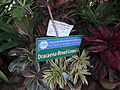 Dracaena broad leaved from lalbagh 2205.JPG