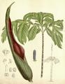 Dracontium spruceanum CBM.png