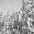 Drager met oogstkuip in de wijngaard, Bestanddeelnr 254-4165.jpg