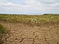 Dried-up peat bog on summit of Cheviot - geograph.org.uk - 209116.jpg