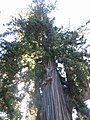 Drive thru tree park, Legget, CA - 5602704826.jpg