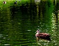 Duck On Water (256187177).jpeg