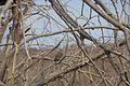 Eagle ranthambore.jpg