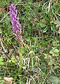 Early-purple orchid - 1 - geograph.org.uk - 1274333.jpg
