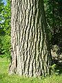 Eastern Cottonwood (Populus deltoides) trunk - Flickr - Jay Sturner.jpg
