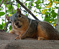 Eastern fox squirrel (Sciurus niger) in a tree, Los Angeles, California.jpg