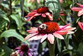 Echinacea Summer Sky 2zz.jpg