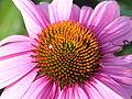 Echinacea purpurea 5548.jpg