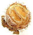 Echinocystis lobata6pl.jpg