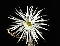 Echinopsis mirabilis1UME.jpg