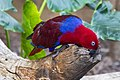 Ecleclus Parrot NQld-1 (11358859973).jpg