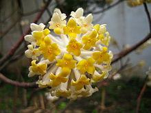 bouquet de fleurs de  l'Edgeworthia