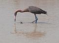 Egretta rufescens -Lake Edna, Florida, USA-8 (4).jpg