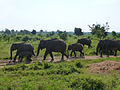 Eléphants-Uda Walawe National Park (2).jpg