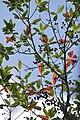 Elaeocarpus joga.jpg
