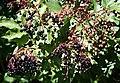 Elder Berries - geograph.org.uk - 232044.jpg