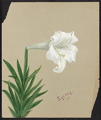 Emma Roberts (artist) - Image: Emma Roberts Easter Lily