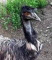 Emu australský.jpg