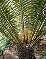 Encephalartos hildebrandtii (30940297233).jpg