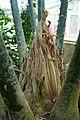 Encephalartos laurentianus-Jardin botanique Meise (5).jpg