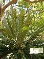 Encephalartos paucidentatus KirstenboshBotGard09292010C.JPG