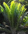 Encephalartospterogonus1.jpg