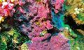 Encrusting Sponge (Nara nematifera) (6056494768).jpg