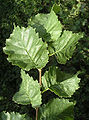 English elm leaves.jpg