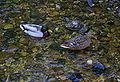 Enten in flachem Fließgewässer.jpg
