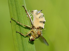 Entomophthora muscae on Scathophaga stercoraria (lateral view).jpg