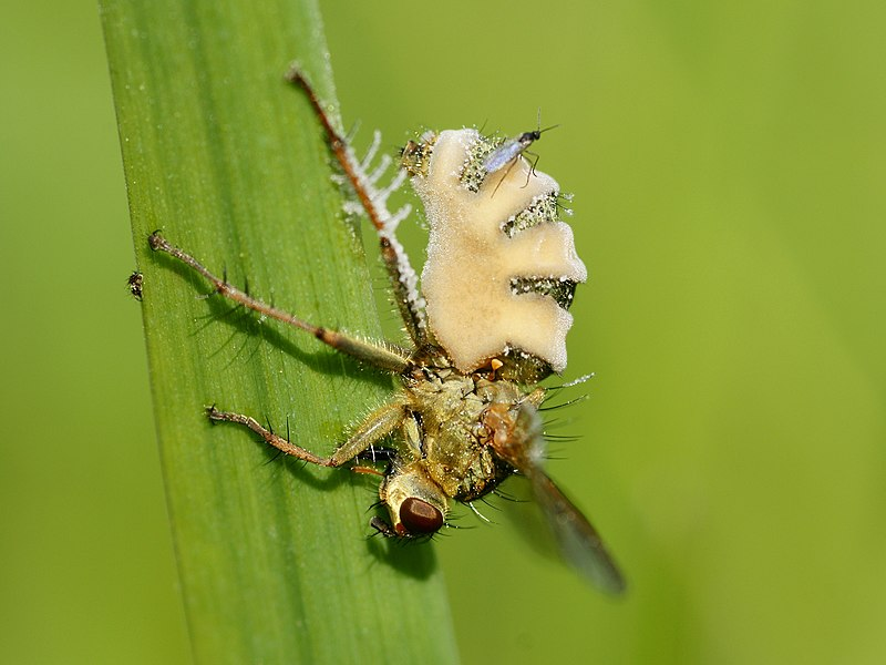Fly fungus on Common yellow dung fly at Oostende, Belgium