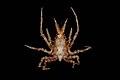 Epialtidae (MNHN-IU-2013-1755).jpeg