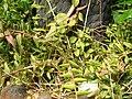 Epidendrum paniculatum.JPG