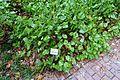Epimedium pinnatum - Flora park - Cologne, Germany - DSC00805.jpg