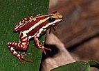 Epipedobates-tricolor-dreistreifen-baumsteiger.jpg