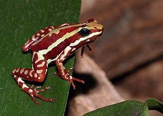 Phantasmal poison frog Species of amphibian