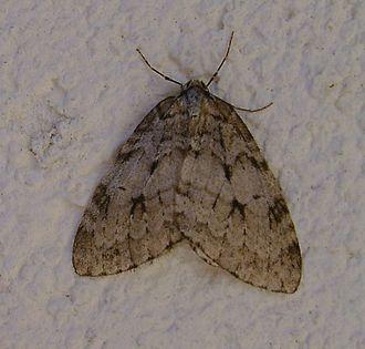 Pale November moth - Live adult