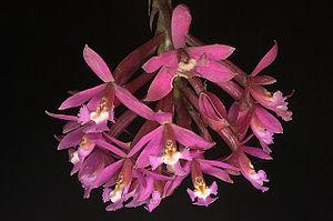 Megantoni National Sanctuary - Epidendrum secundum