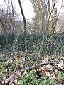 Equisetum hyemale subsp. hyemale sl1.jpg