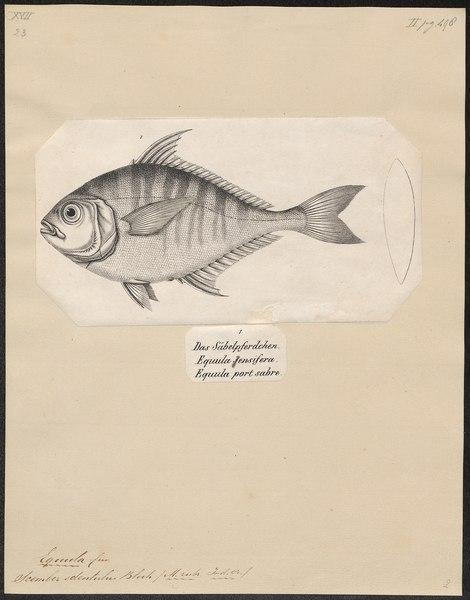 File:Equula edentula - 1700-1880 - Print - Iconographia Zoologica - Special Collections University of Amsterdam - UBA01 IZ13500517.tif