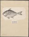 Equula edentula - 1700-1880 - Print - Iconographia Zoologica - Special Collections University of Amsterdam - UBA01 IZ13500517.tif